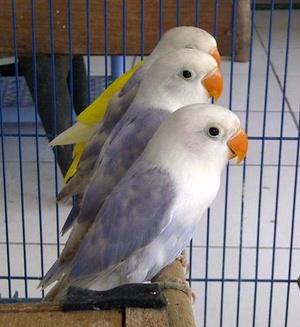 Unduh 86 Foto Gambar Burung Lovebird Warna Unik HD Paling Bagus Free