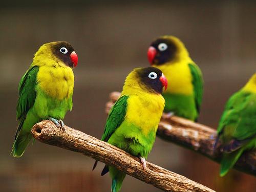 Unduh 940+  Gambar Burung Lovebird Warna Mocca HD Terbaru Free